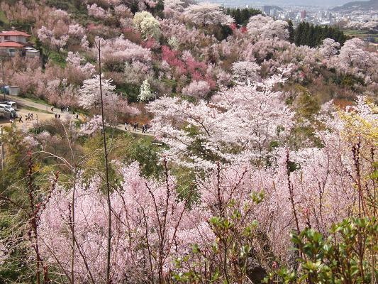 2008_0416三春の桜、花見山の桜0069-2.JPG