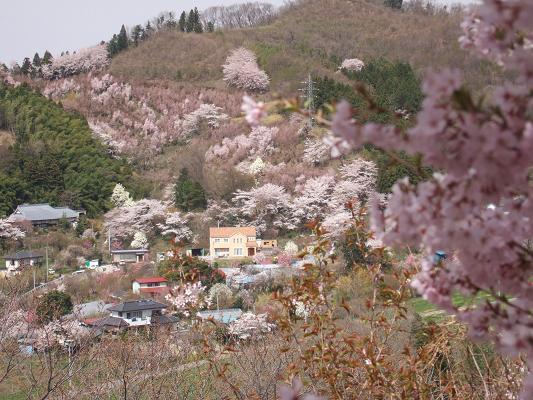 2008_0416三春の桜、花見山の桜0073-3.JPG