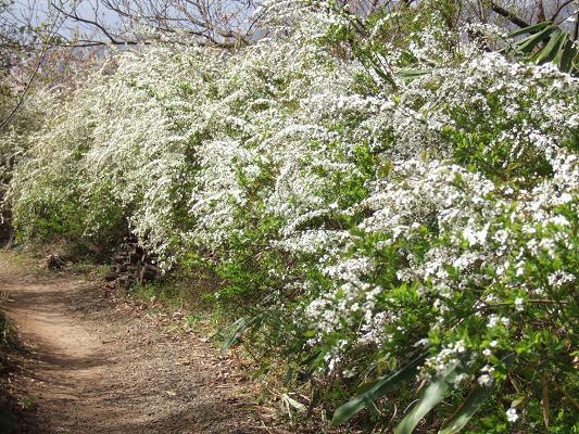 2008_0416三春の桜、花見山の桜0078-7.JPG