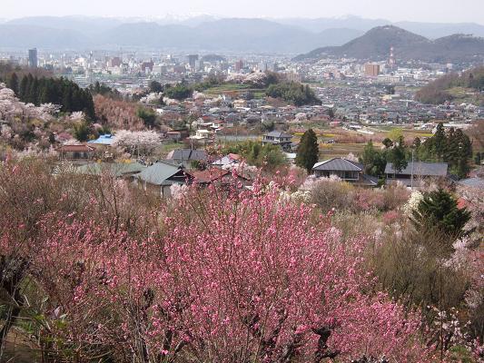 2008_0416三春の桜、花見山の桜0079-5.JPG