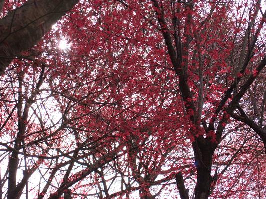 2008_0416三春の桜、花見山の桜008-6.JPG