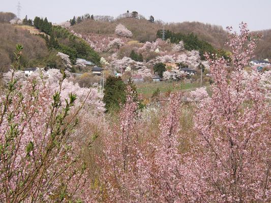 2008_0416三春の桜、花見山の桜0081-8.JPG